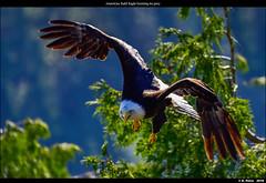 American Bald Eagle hunting its prey (episa) Tags: camera canada britishcolumbia vancouverisland porthardy americanbaldeagle nikond810 may2016 nikonafs200500mmf56eedvr