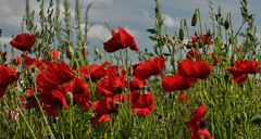 In Flanders' Fields ... (*Lie ... on & off ... too busy !) Tags: red rot rouge nikon poppy poppies nikkor rood klaproos coquelicot redflowers inflandersfields oostduinkerke mohn coquelicots wulpen klaprozen zomerbloemen nikkor18200mm lentebloem nikond90 rodebloemen vlaamsewesthoek vlaamsepolders invlaamsevelden