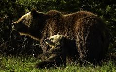 Snowy Moment (Jeff Clow) Tags: bear wild usa nature spring wildlife wyoming grizzly 399 2016 jacksonholewyoming jeffrclow grizzly399