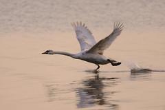 I'm walking on water... (derliebewolf) Tags: sunset lake reflection water de deutschland swan wildlife birding birdsinflight vgel schwan goldenhour bif mecklenburgvorpommern ltow heimischetiere