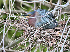 Green Heron incubating nest 17.5 HDR 20160525 (Kenneth Cole Schneider) Tags: florida miramar westbrowardwca