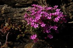 Nelken (Elliott Bignell) Tags: pink schweiz switzerland spring suisse blossom ostschweiz blumen carnation svizzera blume rheintal blte frhling blten blhen nelken nelke walenstadt rheinvalley blht