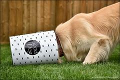 5-12 Bruno:  good dog 2.0 (Dave (d stop - the photon whisperer)) Tags: food dog goldenretriever big grow bin snack gooddog