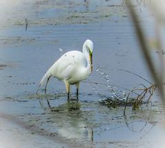 Try Again! (Shannonsong) Tags: ohio nature fishing wildlife marsh waterfowl egret mcgeemarsh