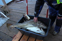 IMG_11_ (Mikael_Alfredsson) Tags: fish norway norge cod fisk torsk helnessund