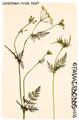 Conopodium majus 'Pignut' (farmer dodds) Tags: wildflower herb pignut codurham umbelliferae apiaceae conopodium conopodiummajus mallygillwood