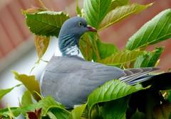 wood pigeon (nannyjean35) Tags: wood wild tree pigeon