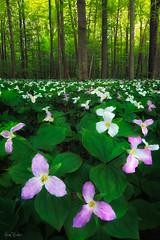 trillium ([Adam Baker]) Tags: morning pink flowers white ny green forest trillium spring woods hiking fresh wildflowers ithaca adambaker