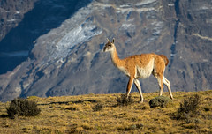 Guanaco in Morning Light (Waldemar*) Tags: chile patagonia latinamerica southamerica nature animal fauna outdoors nationalpark nikon outdoor species torresdelpaine magallanes parquenacional guanaco camelid d7100 lamaguanaco afs70200mmf28gvrii