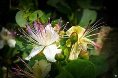 the caper bush, also called Flinders rose (Andrea // AT Graphics!) Tags: travel sun plant flower green nature garden outside outdoor seeds caper padova padua veneto giardinobotanico cappero