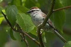 Bruant familier 17T1782 (Ren Pelletier) Tags: sparrow chipping familier bruant passerina spizella