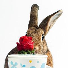 Strawbunny (Jeric Santiago) Tags: pet rabbit bunny animal rose strawberry conejo lapin hase kaninchen うさぎ 兎 winterrabbit