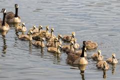 Mother Goose Nursery School Field Trip (edmason88) Tags: mothergoose nurseryschool fieldtrip canadagoose goslings tamron150600 strathconacounty alberta