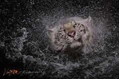 Splash (Vin PSK) Tags: splash whitetiger singaporezoo