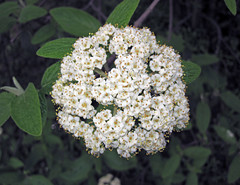 Viburnum sp. (Horseshoe Curve, Pennsylvania, USA) 4 (James St. John) Tags: viburnum flower flowers horsehoe curve altoona pennsylvania plant plants