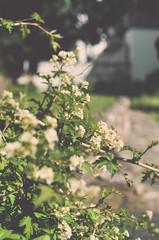(panikyu) Tags: park trip travel flowers white green nikon russia yaroslavl d5100