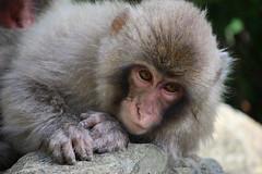(ellievking1) Tags: nature animals japan monkeys hotspring nagano jigokudani macaques monkeypark yudanaka
