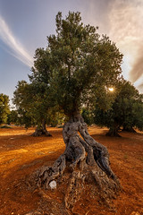 Old. (WaSz-Fotograf) Tags: travel trees light sunset red summer sky italy food sun white black color tree green beautiful yellow clouds olive it oil puglia monopoli włochy 500px ifttt