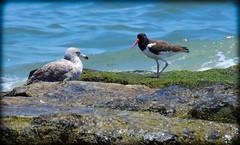 DSCN9817 (DianeBerky19) Tags: ocean beach birds sand seagull gulls oystercatcher jetties nikoncoolpixp900