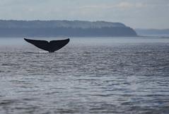 Whale (4 von 19) (karstenniehues) Tags: sea canada st whale lorenz wal whalewatching tadoussac kanada sugetier blauwal finnwal minkwal