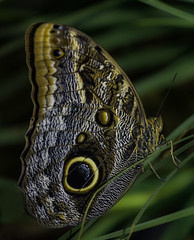Giant Owl Butterfly With Wings Up (Bill Gracey) Tags: color nature leaves butterfly wings colorful durham patterns northcarolina naturalbeauty mariposa caligo museumoflifeandscience oncameraflash giantowlbutterfly sb700