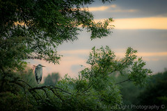Evening Stroll in Sawley (First_Light_Photography) Tags: evening walk sawley sunset heron trees nature birds animals telephoto