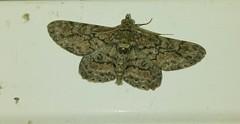 Moth Sighting 3 (tomquah) Tags: macro nature closeup insect wings g4 moth lg tomquah