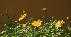 Jun 9: Flower Garden Detail (johan.pipet) Tags: flickr kvety flower garden zahrada spring sunny jar yellow macro detail bratislava dubravka slovakia slovensko nature flora palo bartos bartoš canon eu europe