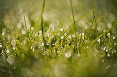 Morning dew (Jacqui Stanley(I'm back!)) Tags: grass dew morning bokeh interesting sunlight nikond300 nikon jacquistanley