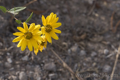 """Rocky Mountain Helianthella • <a style=""""font-size:0.8em;"""" href=""""http://www.flickr.com/photos/63501323@N07/27900093161/"""" target=""""_blank"""">View on Flickr</a>"""