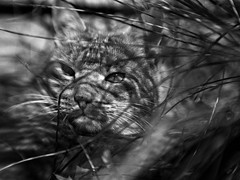 Hiding (or so he thought) (Anne Worner) Tags: portrait blackandwhite bw monochrome face lensbaby cat mono eyes feline content ears whiskers hiding inthegrass silverefex sweet35 anneworner
