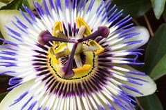 Passiflora (Alessandro Casagrande Photographer) Tags: macro natura passiflora fiore colori terrazza