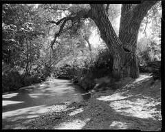 big dry creek and cottonwood (mike thomas) Tags: tree film analog landscape photography centennial colorado trail 400 4x5 rodinal chamonix 250 120mm schneider fomapan supersymmar mod54 045f1