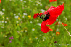 Die mit dem Wind tanzt (grafenhans) Tags: sony blumen alpha 700 tamron blüte klatschmohn a700 mohnblüte alpha700 grafenwald 281750