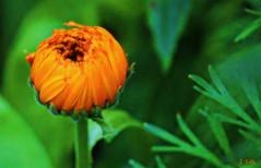 are we there yet? (gshaun12) Tags: orange flower macro green closeup bokeh fantasticnature macrodreams