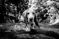 6/21/16 Photo 235 (GarrettHerzig) Tags: bw dog monochrome fuji connecticut norfolk basset bassethound 365project x100t fujix100t
