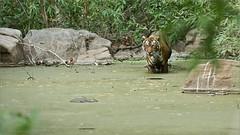 Tiger in the Swamp (Raymond J Barlow) Tags: tiger wildlife travel workshop raymondbarlow adventure phototours india