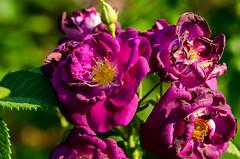 rose garden 2 (gdajewski) Tags: flowers roses rose garden rosegarden nikkor70200mmf28gafsvr nikond7000 schenectadyrosegarden
