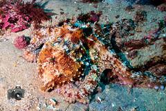 Octopus (ShaunMYeo) Tags: espaa fish spain espanha scubadiving espagne spanien spagna tarifa spanje spnn spania underwaterphotography  espanya  hispania hiszpania ispanija espanja ispanya spanyolorszg panlsko ikelite hispaania underwaterphotographer spanyol  hispanio    spanja ispaniya sepanyol  panija panielsko  espainiako     spinn  espay  spnija  spanj