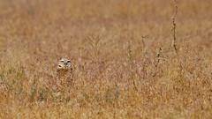 Burrowing owl (Athene cunicularia) Skull Valley, Utah (rangerbatt) Tags: