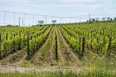 Greve in Chianti - Vicchiomaggio Wine Estate Vines (Le Monde1) Tags: italy castle florence nikon wine vine tuscany tasting renaissance greve grapevine greveinchianti d610 castellovicchiomaggio lemonde1