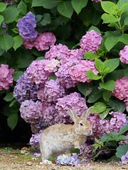 B6250609 (VANILLASKY0607) Tags: rabbit bunny bunnies nature animal japan photo wildlife wildanimal hydrangea rabbits rabbitisland wildrabbit okunoshima