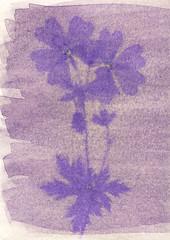 Anthotype Print - Wild Geranium (k-s-b) Tags: wild flower nature garden print process geranium alternative cameraless altproc anthotype platypetlum