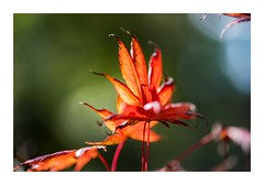 My Time To Shine (red stilletto) Tags: autumn red orange green yellow bokeh autumnleaves sassafras autumnleaf thedandenongs famousflickrfive alfredncholasgardens