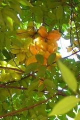 Sternfruchtbaum mit vielen Früchten (Alfesto) Tags: cuba trinidad kuba karambola sternfrucht averrhoacarambola karambole zentralkuba nationalparkguayanara