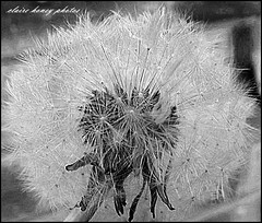dandelion clock (frenchmum) Tags: flowers blackandwhite black dandelion dandelionclock blackandwhitepictures flowersandcolours flowerarefabulous mygearandme rememberthatmomentlevel1 rememberthatmomentlevel2 vigilantphotographersunite