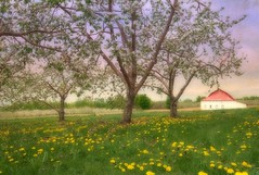 Au printemps tu reviendras (monilague) Tags: tree texture field barn spring ciel arbre printemps grange champ appletree pissenlit pommier skyn dendelion