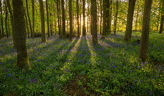 Bluebell Dawn (Chris Beard - Images) Tags: uk flowers england green bluebells purple may wiltshire