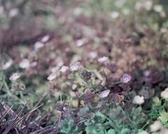 purple-urples. (brian hefele) Tags: flowers green weeds purple pentax violet wildflowers trichrome mysteriousfilm notvioletsthough