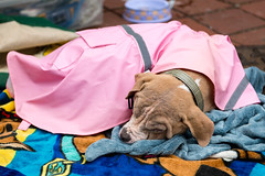 Johnny is also tired (Knight725) Tags: dog pennslanding d800 2470f28 adoptionevent